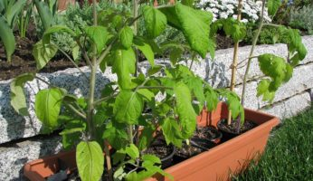 5 Tomaten Jungpflanzen