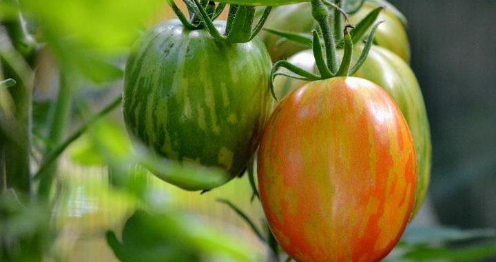 Gestreifte, mehrfarbige Tomatensorte