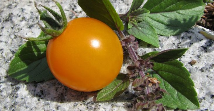 Golden Pearl Tomate mit Basilikum-Zweig