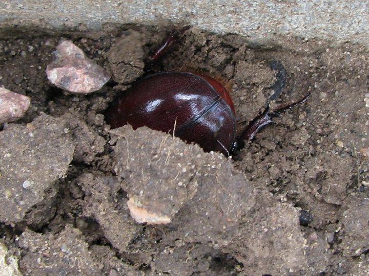 Nashornkäfer gräbt sich ein