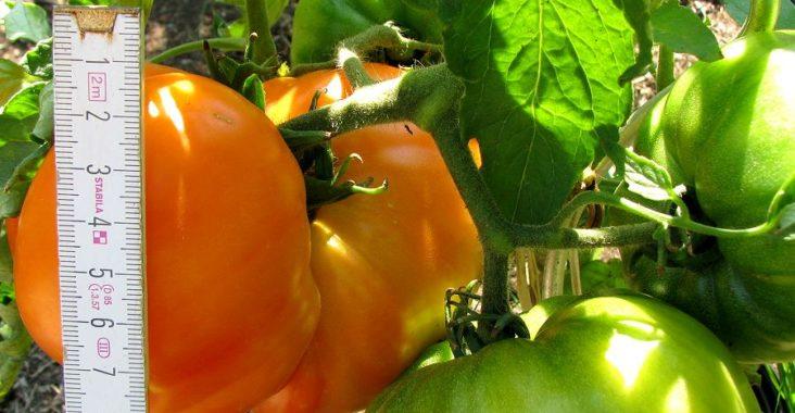 Orange Russian Tomate