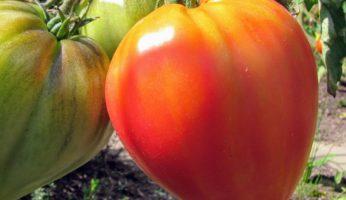 Russian Ornage Tomatenpflanze