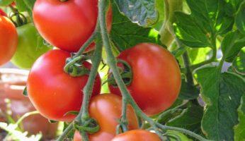 Tomaten 2008