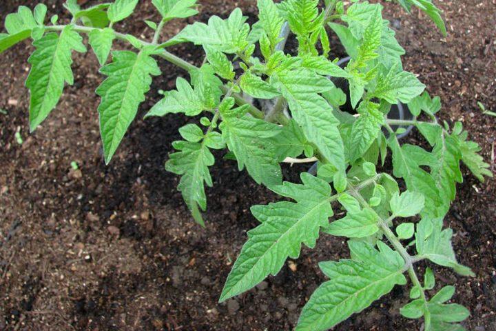 Tomatenpflanze im Beet