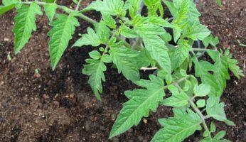 Tomatenpflanze kommt ins Freiland