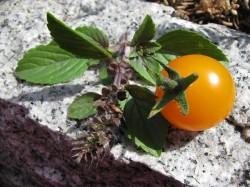 Ernte der ersten Tomate im Jahr 2010 - Eine Golden Pearl F1