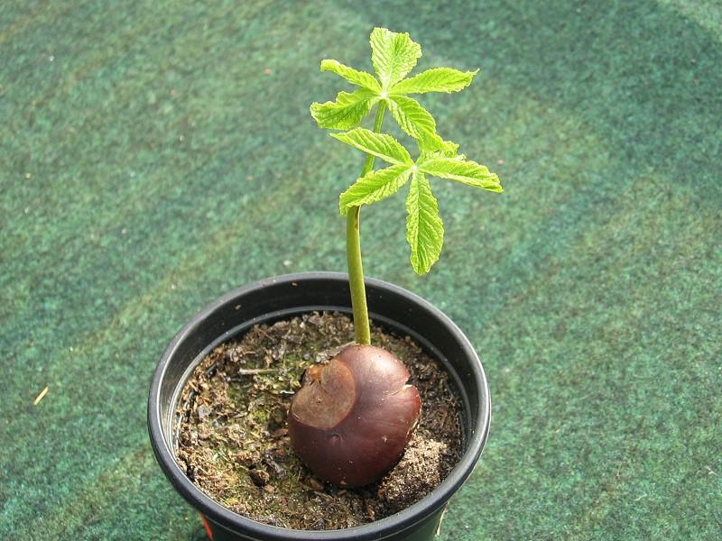 kastanienbaum tomate paprika und kr uterbeet. Black Bedroom Furniture Sets. Home Design Ideas