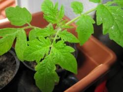 Tomatenpflanze auf der Fensterbank