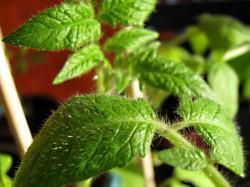 Tomaten Jungpflanzen, Harzfeuer